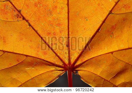 Bright Yellow-red Autumn Leaf