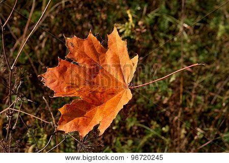 The Fallen Leaf In A Grass