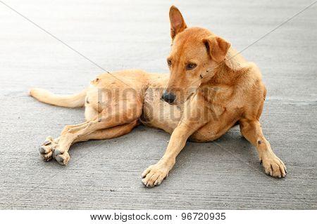 Brown Homeless Thai Dog On The Street