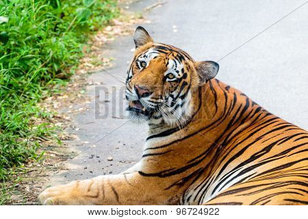 Indian tiger in sitting posture with a sharp gaze on its prey