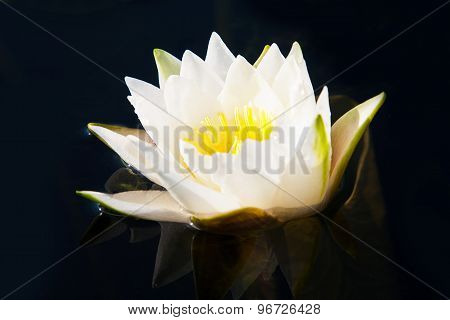 Blossoming Lily In A Pond