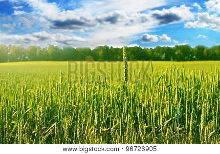 Field with green wheat on the blue sky