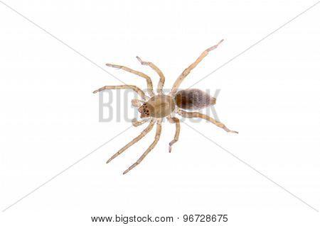 Grey Brown Spider On A White Background