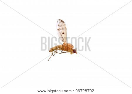 Lying Orange Fly On A White Background