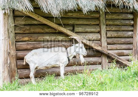 Goat Standing At A Wooden Sty