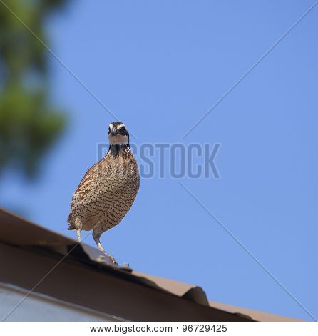 Quail On A Roof