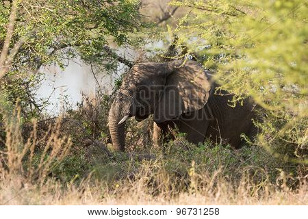An African Elephant Foraging In A Thorny Thicket
