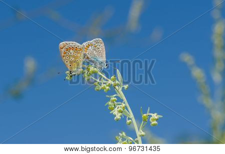 Coupling act in family of Common Blue butterfly