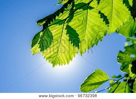 Alder Branch With Leaves