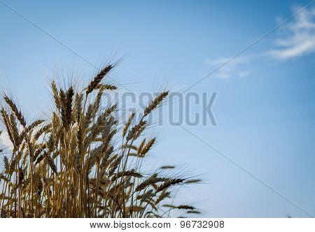 Ripe Gold Wheat