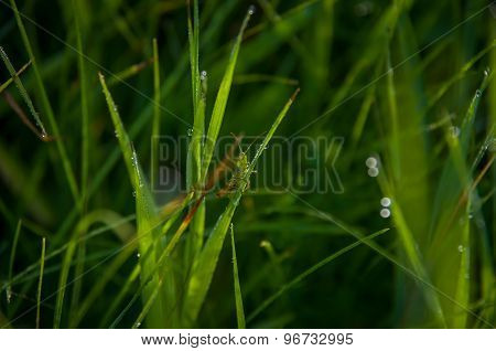 Green Grasshopper On Grass.