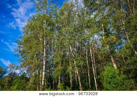 Summer Birchwood