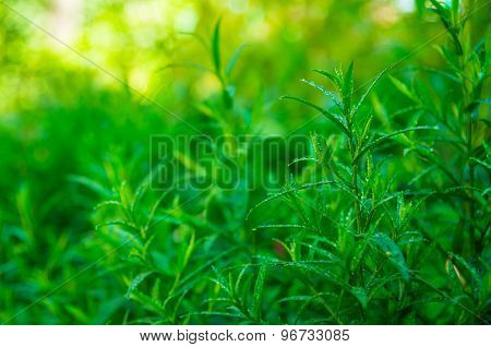Good Green Tarragon