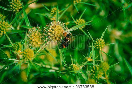 Bumblebee On Wheat Thorns