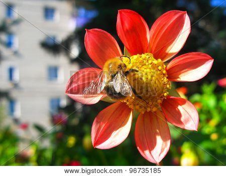 European Honey Bee( Apis Mellifera) On A Dahlia Flower