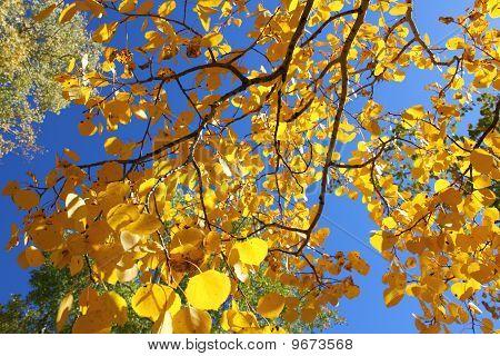 Fall Foliage With Yellow Aspen Trees