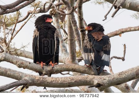 Bateleur Eagle Couple (terathopius Ecaudatus) Showing View From Front And Back