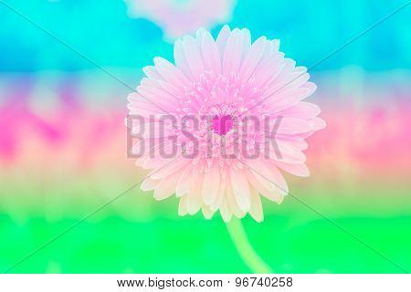 Sweet Color Gerbera In Soft Color And Blur Style