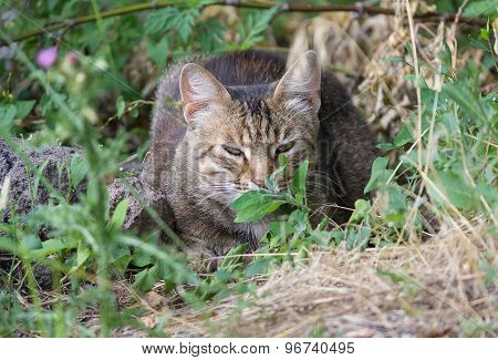 Homeless Gray Cat Hiding In The Grass