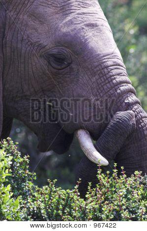 African Elephant1