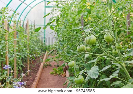 Unripe Tomatoes In Greenhouse.