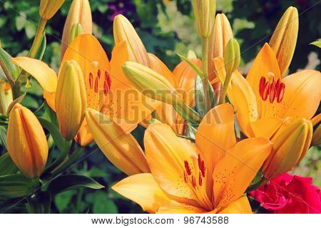 Colorful Orange Lily Bunch.