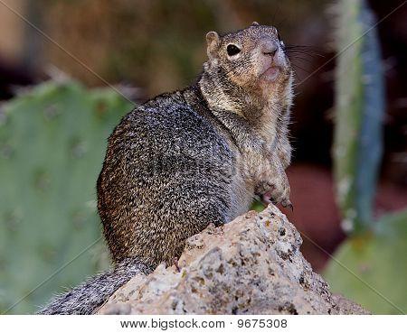 Kaibab Squirrel