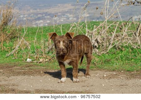 Brown mongrel dog