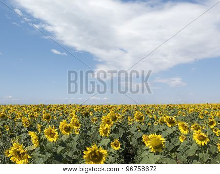 Field Of Bright Yellow Sunflowers, Blue Sky With White