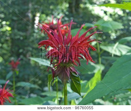 Scarlet Beebalm (monarda Didyma) Blossom