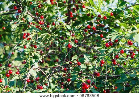 Many Red Cherry On Tree In Summer