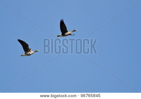 Pair Of Greater White-fronted Geese Flying In A Blue Sky
