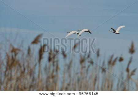 Flock Of Tundra Swans Flying Across The Marsh