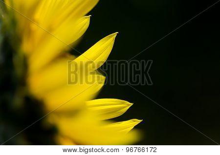 Yellow Sunflower Petals Against A Dark Green Background