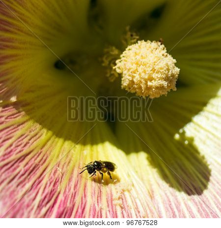 Bee on a Hollyhock