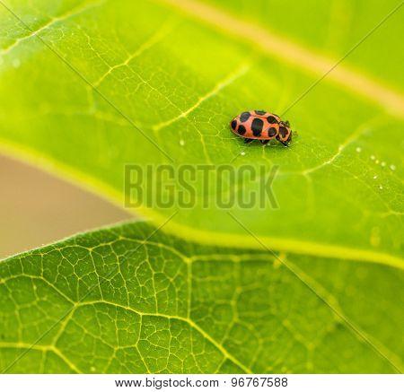 Ladybird on Milkweed
