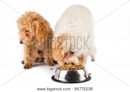 One poodle puppy eating dried food from a bowl, with the other not interested.