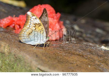 Plain Earl Butterfly