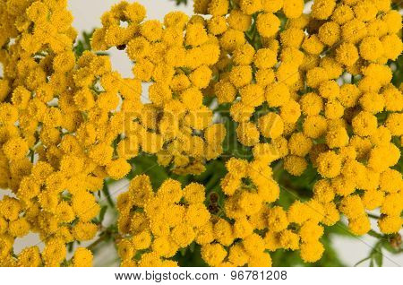 Herb tansy isolated on white.