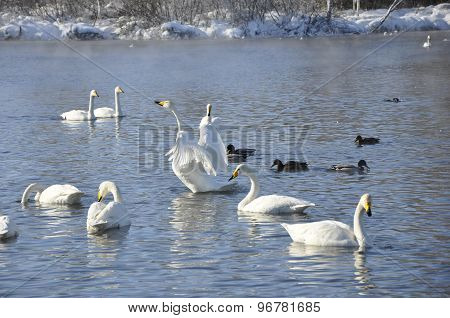 Swans and ducks on the lake.