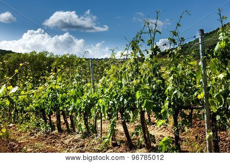 Field Of Vines In The Countryside Of Tuscany