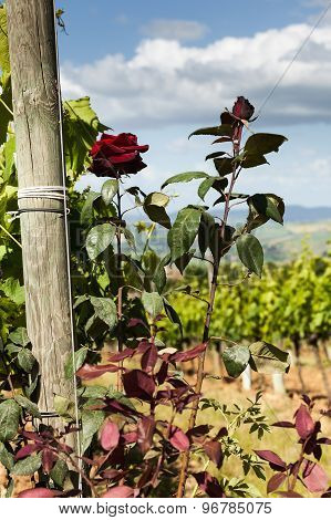 Rose Bushes Next To The Vines In Tuscany