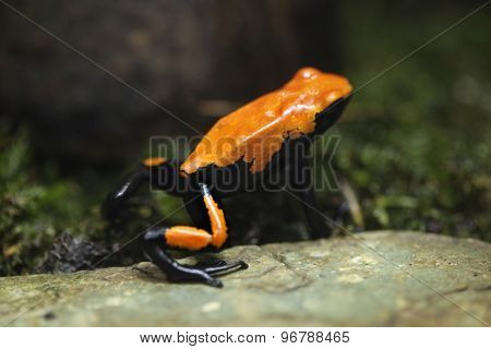 Splash-backed poison frog (Adelphobates galactonotus). Wildlife animal.