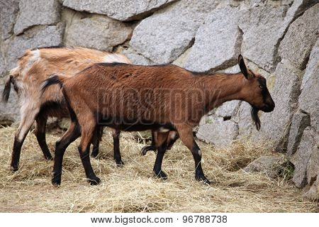 Domestic goat (Capra aegagrus hircus). Wildlife animal.