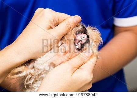 The teeth and gums of a puppy being examined by a vet at a clinic