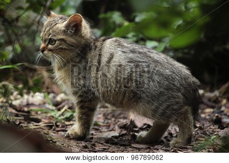 European wildcat (Felis silvestris silvestris) kitten. Wild life animal.