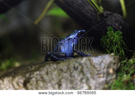 Blue poison dart frog (Dentrobates azureus), also known as the blue poison arrow frog. Wildlife animal.