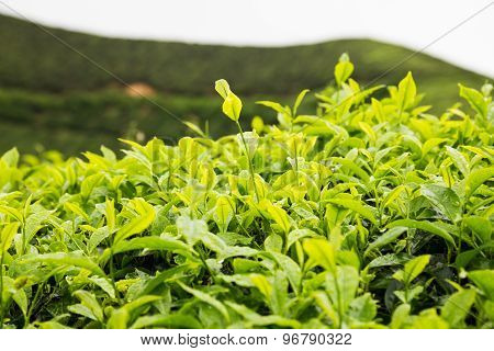 Tea plantation with focus on the tea leafs shoots at the foreground