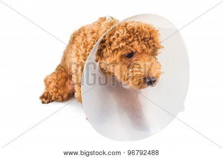 Sad poodle dog wearing protective cone collar on her neck
