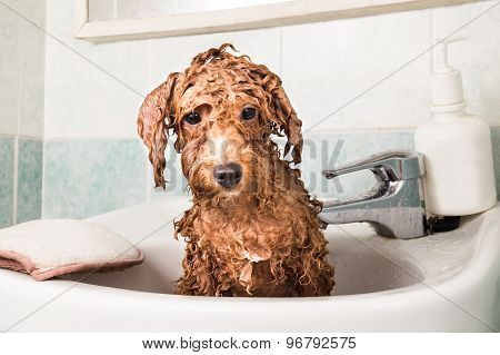 Wet poodle puppy taking bath in basin